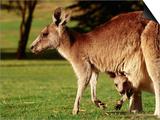 Kangaroo and Joey on Bellarine Peninsula  Barwon Heads  Victoria  Australia