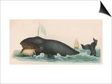 Whale  c1870