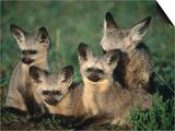 Bat-Eared Fox Pups (Octocyon Megalotis) in Their Den  Serengeti National Park  Tanzania