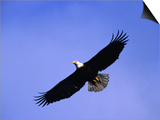 A Bald Eagle (Haliaeetus Leucocephalus) in Flight Near Homer  Alaska  Homer  USA