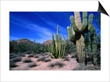 Saguaro Forest  Organ Pipe Cactus National Monument in the Sonoran Desert  Arizona  USA