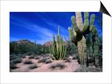 Saguaro Forest  Organ Pipe Cactus National Monument in the Sonoran Desert  Arizona  USA