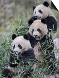 Three Subadult Giant Pandas Feeding on Bamboo Wolong Nature Reserve  China