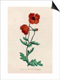 Corn Poppy or Corn Rose Poppy or Field Poppy