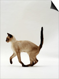 Domestic Cat  Seal Point Siamese Juvenile Running Profile