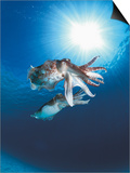 Broadclub Cuttlefish Mating  Sulu-Sulawesi Seas  Indo-Pacific