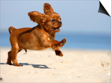 Cavalier King Charles Spaniel  Puppy  14 Weeks  Ruby  Running on Beach  Jumping  Ears Flapping