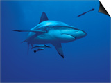 Grey Reef Shark  with Remora Fish  Great Barrier Reef  Queensland  Australia
