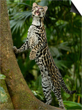 Ocelot (Felis / Leopardus Pardalis) Amazon Rainforest  Ecuador