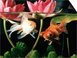 Two Goldfish (Carassius Auratus) with Waterlilies  UK