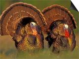 Wild Turkey Males Displaying  Texas  USA
