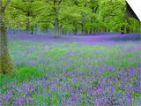 Bluebells Flowering in Beech Wood Perthshire  Scotland  UK