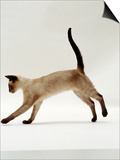 Domestic Cat  Seal-Point Siamese Juvenile Running Profile