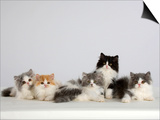 Persian Cat  Five Kittens  Silver-And-White  Black-And-White and Ginger-And-White Sitting in Line