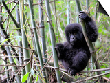 Young Mountain Gorilla Climbing on Bamboo  Volcanoes National Park  Rwanda  Africa