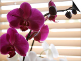 Purple Orchids II