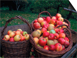 Baskets with Apples (Malus Domesticus) Europe