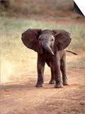 African Elephant Baby (Loxodonta Africana)