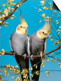 Two Cockatiels  Males (Nymphicus Hollandicus) Australia