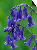 Bluebell Flower  UK