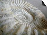 Fossil Shells II