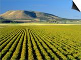 Field of St John's Wort  Oregon