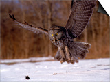 Great Gray Owl Flying  Rowley  MA