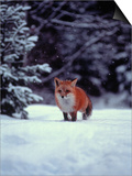 Red Fox in Snowy Wood