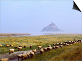Flock of Sheep in a Field with Mont Saint-Michel Island in the Background  Manche
