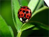 Nine Spotted Lady Bug Beetle