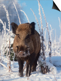 Wild Boar in Winter (Sus Scrofa)  Europe