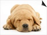 Domestic Labrador Puppy (Canis Familiaris) Sleeping