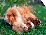 Domestic Guinea Pig with Young  Europe