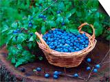 Blackthorn Berries on Shrub and in Basket (Prunus Spinosa) Europe