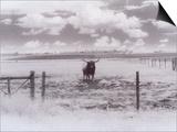 Longhorn Steer  CO