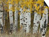 Aspen Trees in Autumn  Grand Teton National Park  Wyoming  USA