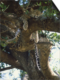 Kenya  Samburu Game Reserve  Leopard