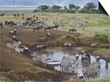 Zebras and Wildebeest at a Waterhole  Tanzania