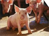 Yorkshire Pigs in Pen  GA