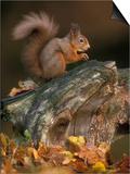 Red Squirrel  Autumn  Cairngorms National Park  Scotland