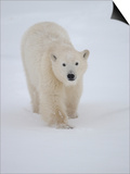 Polar Bear in Churchill Manitoba