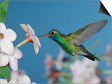 Broad Billed Hummingbird  Male Feeding on Nicotiana Flower  Arizona  USA