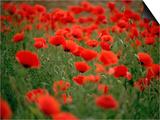 Poppy Field (Papaver Rhoeas)  Germany  Europe