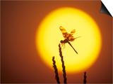 Haloween Pennant Dragonfly  Silhouette at Sunrise  Welder Wildlife Refuge  Sinton  Texas  USA