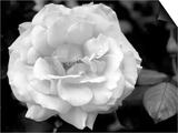 Delicate Petals I
