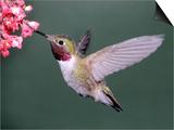 Male Broad Tail Hummingbird