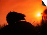 Hedgehog (Erinaceus Europaeus) Silhouette at Sunset  Poland  Europe