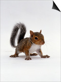 Baby Grey Squirrel  Portrait