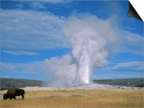 Bison and Old Faithful  Yellowstone National Park  WY