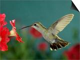 Broad Billed Hummingbird  Female Feeding on Petunia Flower  Arizona  USA